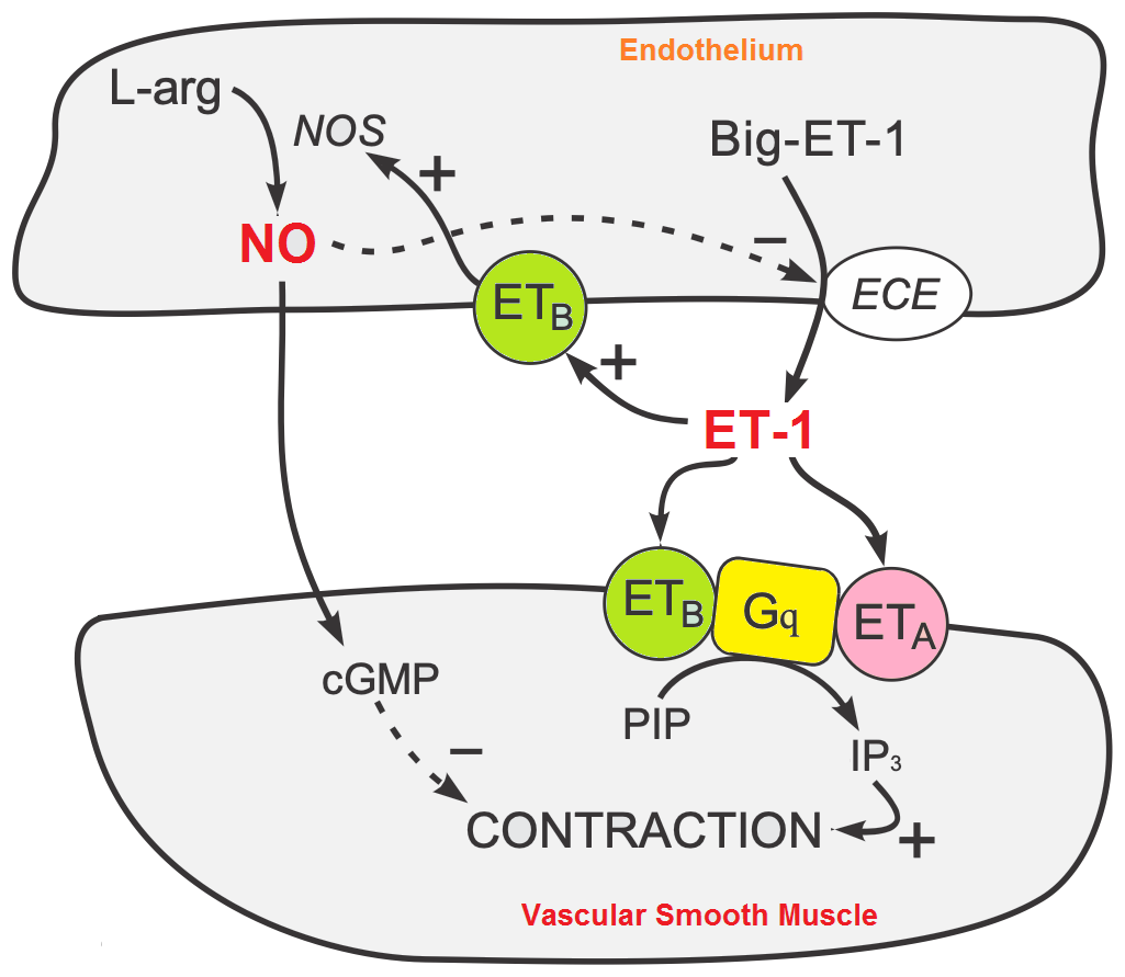 Endothelin Function and Potential Role in Muscle..